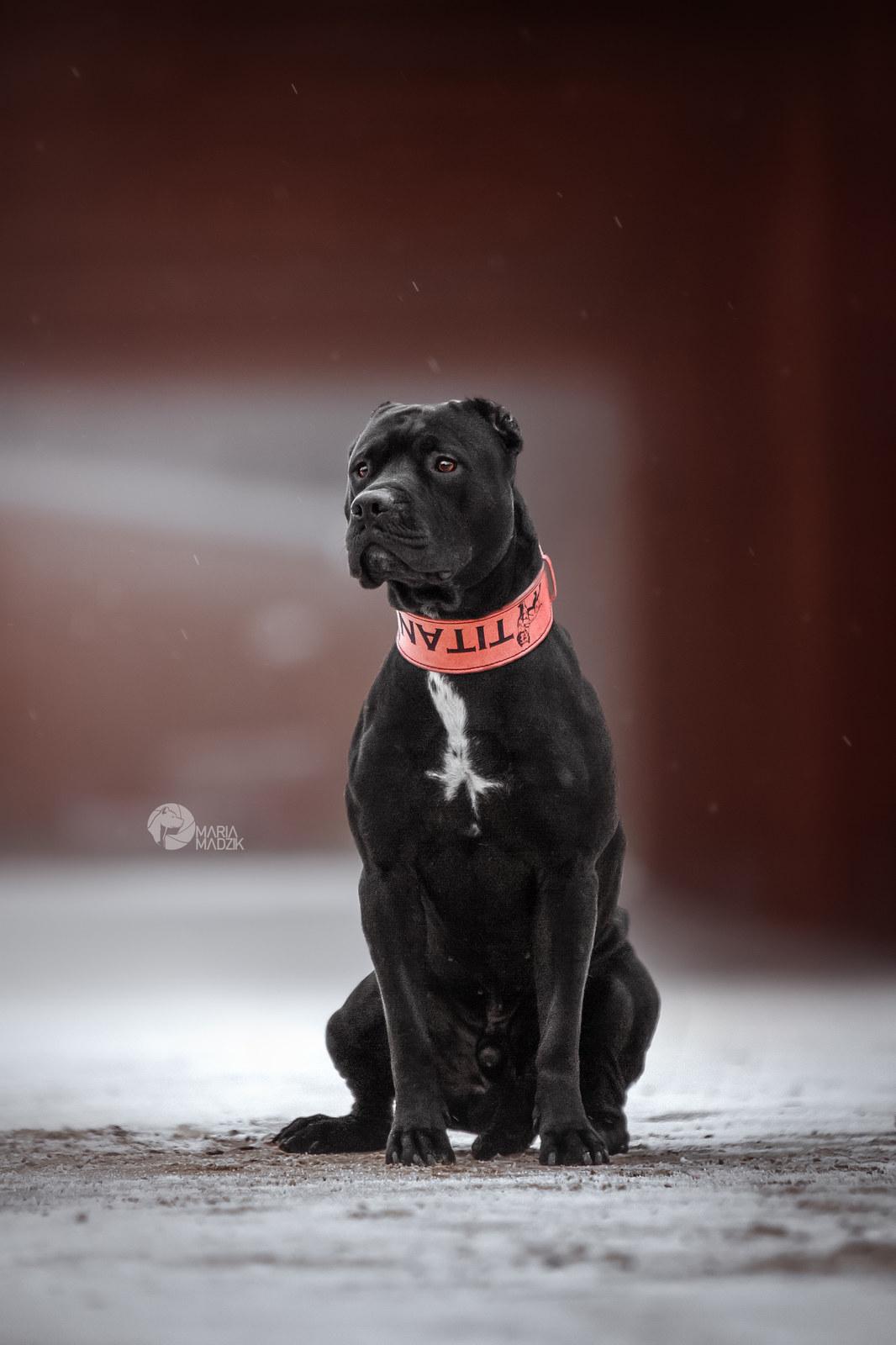 Грозный охранник или нежный компаньон: как воспитать щенка питбультерьера